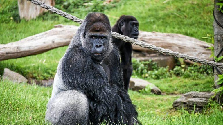کرونا: گوریل های آلوده – احتمالاً توسط نگهبان باغ وحش سان دیگو آلوده شده است