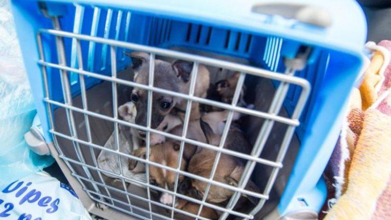 تجارت غیرقانونی توله سگ در بحران کرونر رونق گرفته است